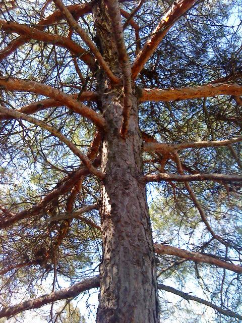 Pinus nigra - Austrian Pine