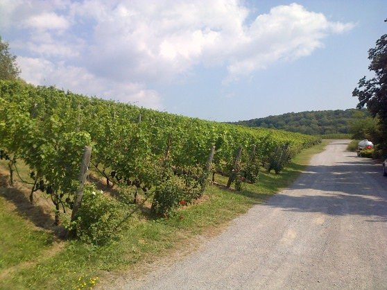 Vineyard in Niagara
