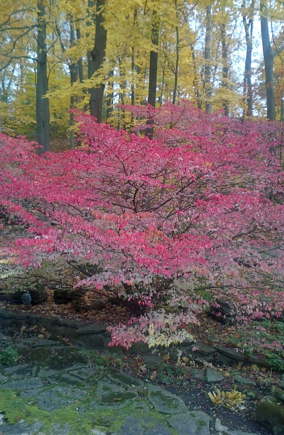 Burning Bush - Euonymus alatus